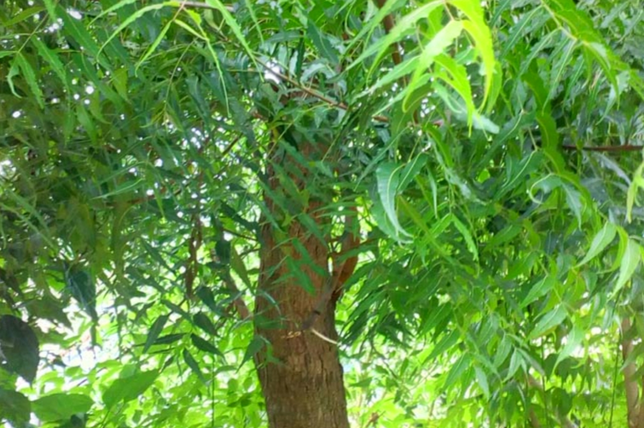 The 15 Medicinal Properties of Neem Trees and Benefits
